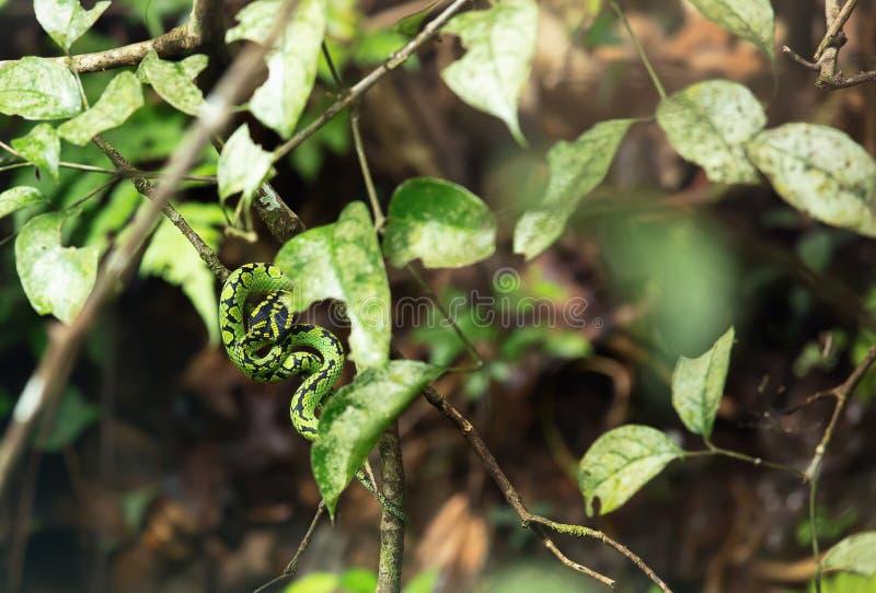 Πράσινο φίδι στο τροπικό δάσος στοκ φωτογραφίες