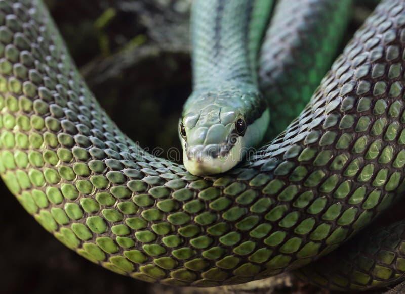 Πράσινο φίδι Latigo στοκ εικόνες με δικαίωμα ελεύθερης χρήσης