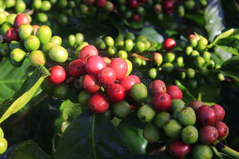 Πράσινο φασόλι καφέ στο δέντρο καφέ στοκ εικόνες