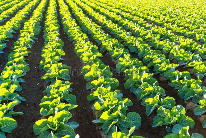 Πράσινο φυτικό αγρόκτημα κάτω από το φως του ήλιου στοκ εικόνα