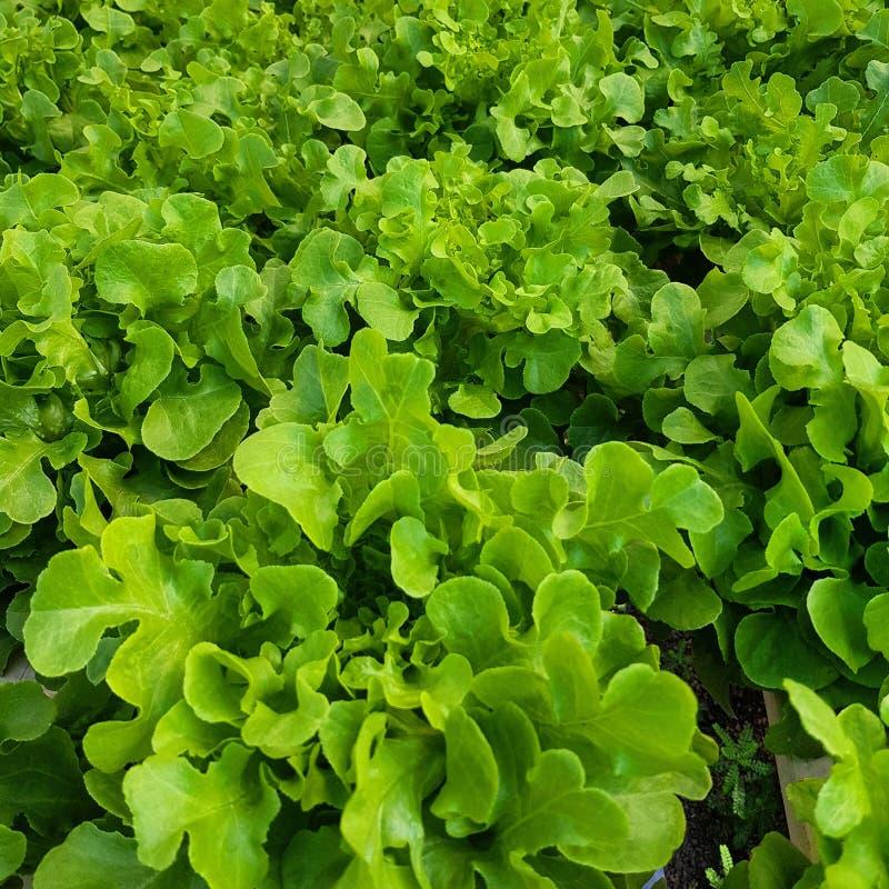 Πράσινο λαχανικό στο αγρόκτημα στοκ εικόνα με δικαίωμα ελεύθερης χρήσης