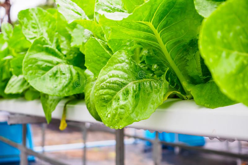 Πράσινο φυτό σαλάτας μαρουλιού romaine μαρουλιών φύλλων hydroponics στο αγροτικό σύστημα λαχανικών στοκ εικόνα με δικαίωμα ελεύθερης χρήσης