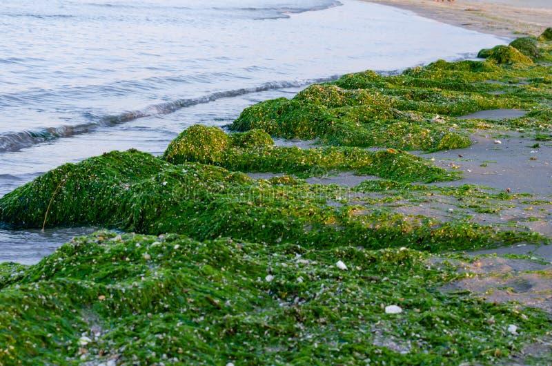 Πράσινο φύκι στην ακτή Απειλή εισβολής φυκιών στοκ εικόνες