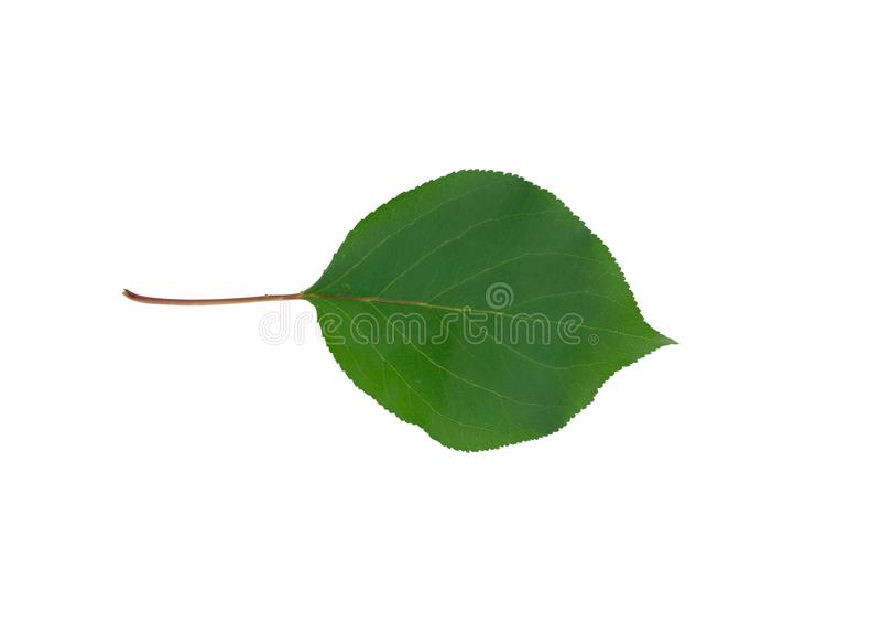 Πράσινο φύλλο βερίκοκων που απομονώνεται στο άσπρο υπόβαθρο στοκ εικόνες