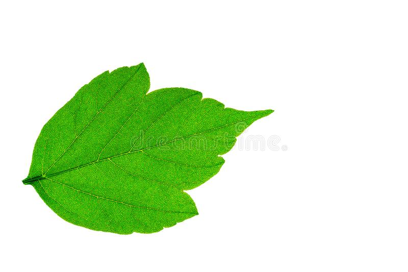 Πράσινο φύλλο δέντρων σφενδάμνου άσπρο στενό σε επάνω υποβάθρου που απομονώνεται στοκ φωτογραφίες