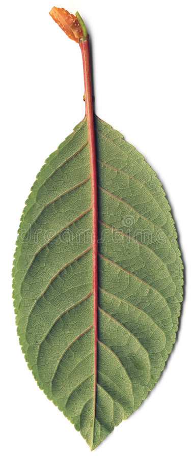 πράσινο φύλλο κερασιών στοκ εικόνα με δικαίωμα ελεύθερης χρήσης