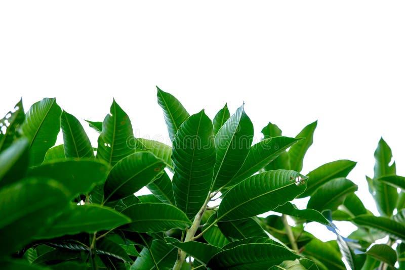 Πράσινο φύλλο μάγκο στοκ εικόνες