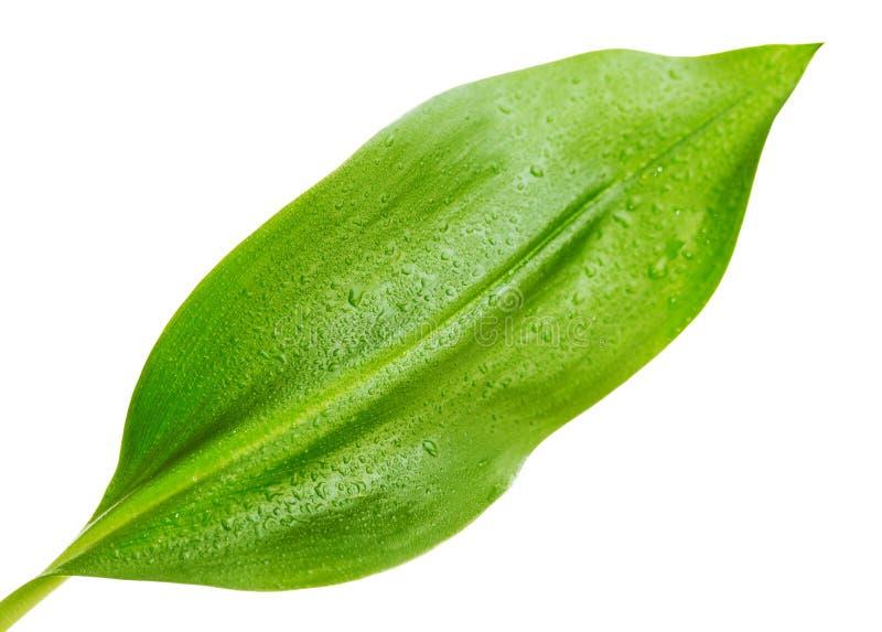 Πράσινο φύλλο με τις απελευθερώσεις του νερού στοκ φωτογραφία με δικαίωμα ελεύθερης χρήσης