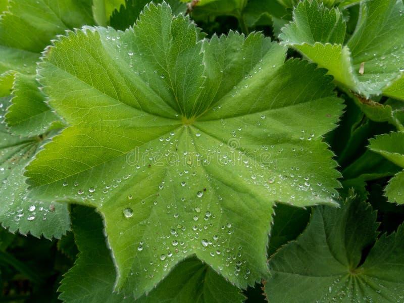 πράσινο φύλλο με τις πτώσεις νερού στοκ εικόνες