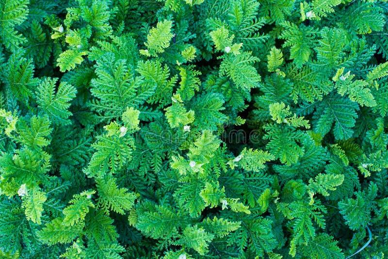 Πράσινο φύλλο της άγριας φτέρης Πράσινη χλόη Υπόβαθρο εγκαταστάσεων Το δάσος άνωθεν στοκ εικόνες