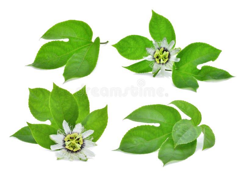 Πράσινο φύλλο του λωτού που απομονώνεται στο λευκό στοκ φωτογραφίες με δικαίωμα ελεύθερης χρήσης