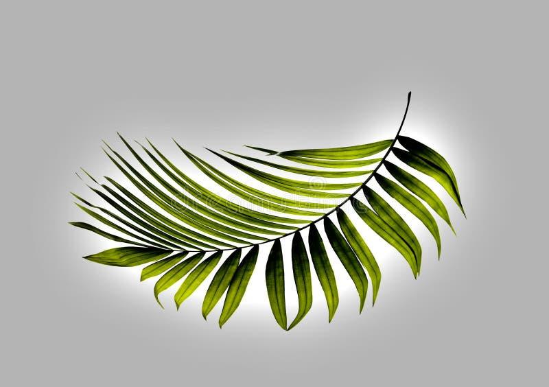 Πράσινο φύλλο του φοίνικα διανυσματική απεικόνιση