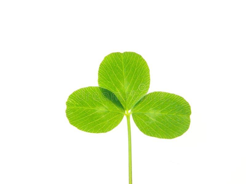 πράσινο φύλλο τριφυλλιού στοκ φωτογραφία με δικαίωμα ελεύθερης χρήσης