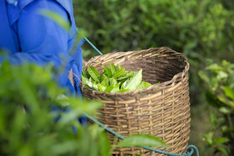 Πράσινο φύλλο τσαγιού στην ξύλινη εκμετάλλευση καλαθιών στο πίσω μέρος του farme στοκ φωτογραφία με δικαίωμα ελεύθερης χρήσης
