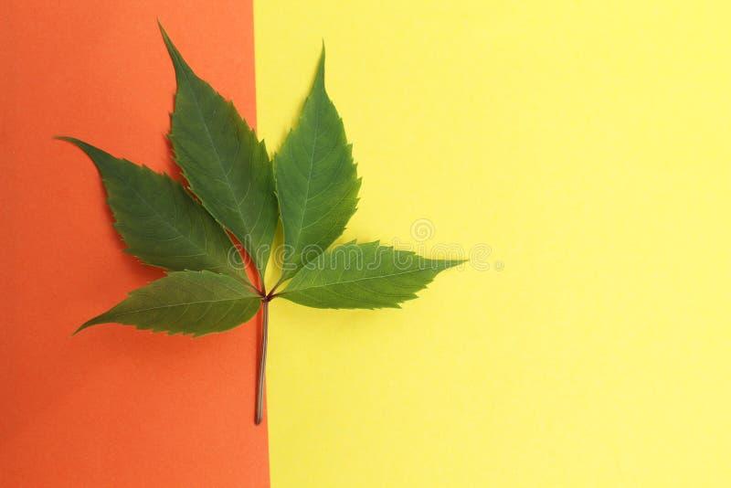 Πράσινο φύλλο των άγριων σταφυλιών στοκ εικόνες με δικαίωμα ελεύθερης χρήσης