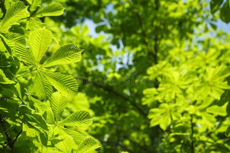 Πράσινο φύλλωμα στο δέντρο κάστανων τη φωτεινή ηλιόλουστη θερινή ημέρα Πράσινα φύλλα στο υπόβαθρο δέντρων στοκ φωτογραφίες με δικαίωμα ελεύθερης χρήσης