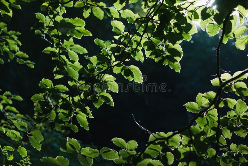 Πράσινο φύλλων ηλιοβασίλεμα βραδιού αντίθεσης υποβάθρου μεγάλο στοκ εικόνα