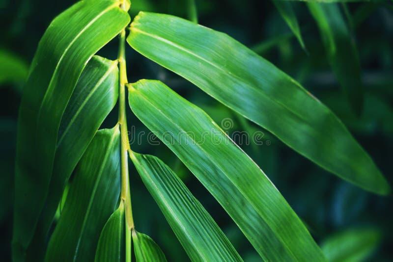 Πράσινο φύλλο μπαμπού στο σκοτεινό υπόβαθρο Φρέσκο πράσινο φύλλο κήπος τροπικός στοκ φωτογραφίες