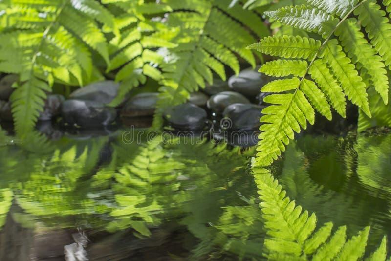 Πράσινο φύλλο του φυτού με τη φτέρη και του χαλικιού στο νερό στοκ φωτογραφίες