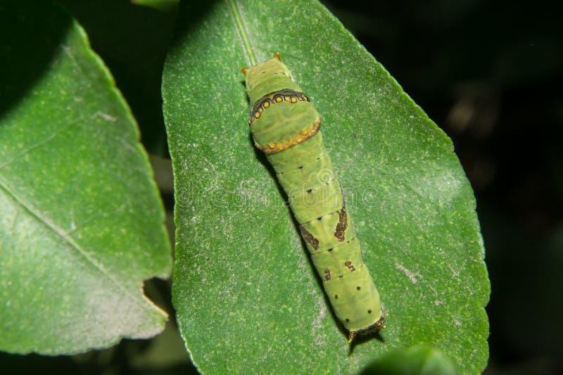 Πράσινο χρώμα του Caterpillar πεταλούδων στοκ εικόνες