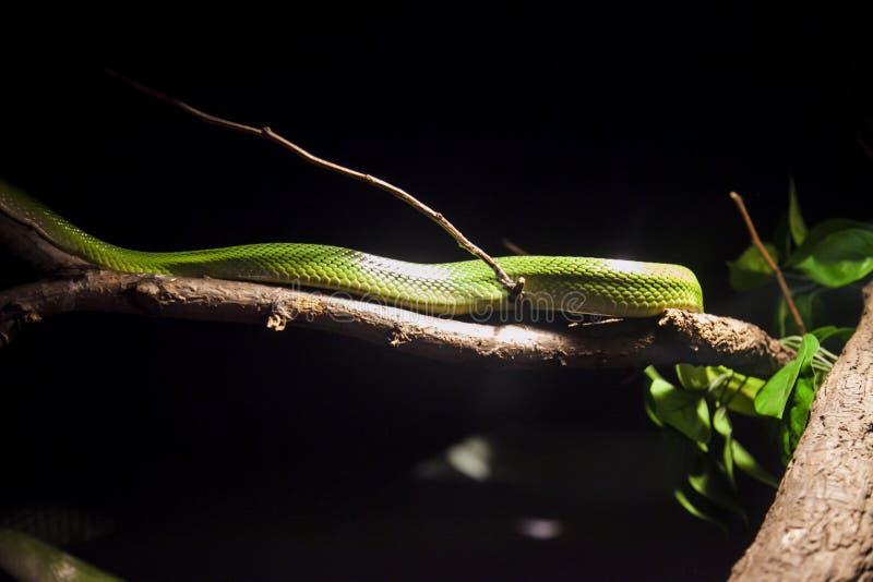 Πράσινο όμορφο φίδι στον κλάδο στο ζωολογικό κήπο Bronx στοκ φωτογραφία