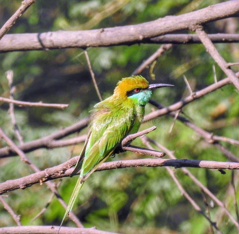 Πράσινο beeeater στοκ φωτογραφία με δικαίωμα ελεύθερης χρήσης