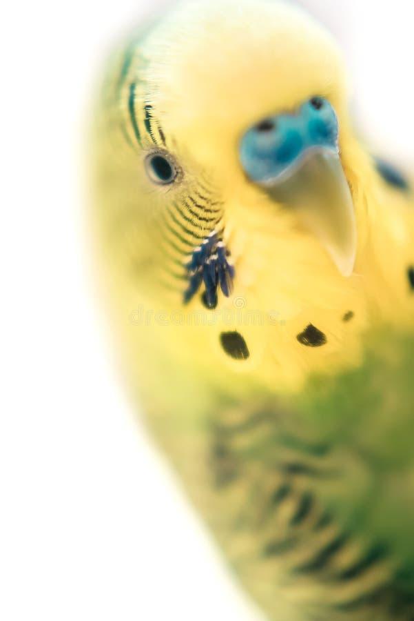 Πράσινο budgerigar στενό επάνω πορτρέτο παπαγάλων στο άσπρο υπόβαθρο Μακροεντολή Χαριτωμένο πράσινο budgie Εκλεκτική μαλακή εστία στοκ εικόνα με δικαίωμα ελεύθερης χρήσης
