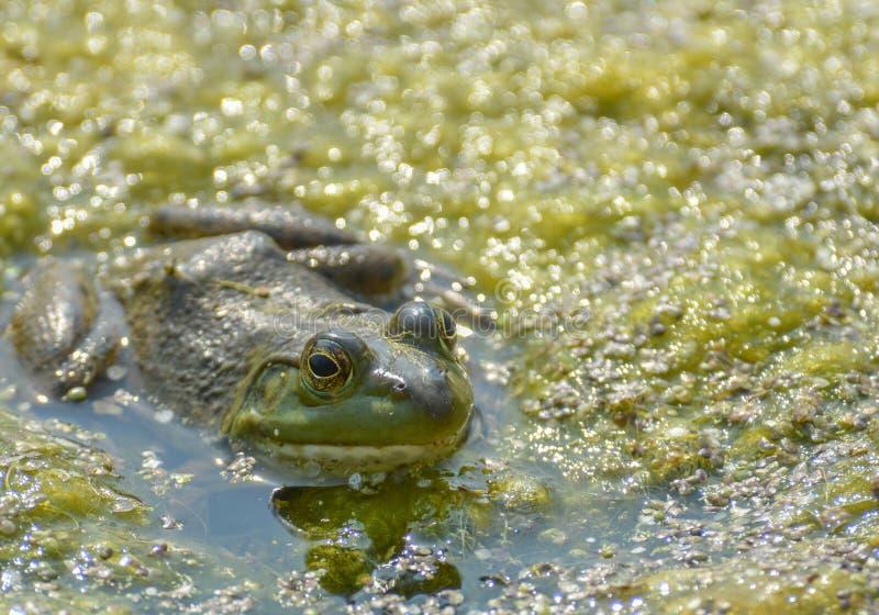 Πράσινο Bullfrog σε Pong στοκ φωτογραφίες
