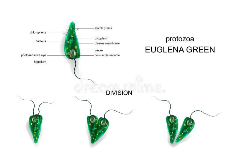 Πράσινο euglena πρωτόζωες διανυσματική απεικόνιση