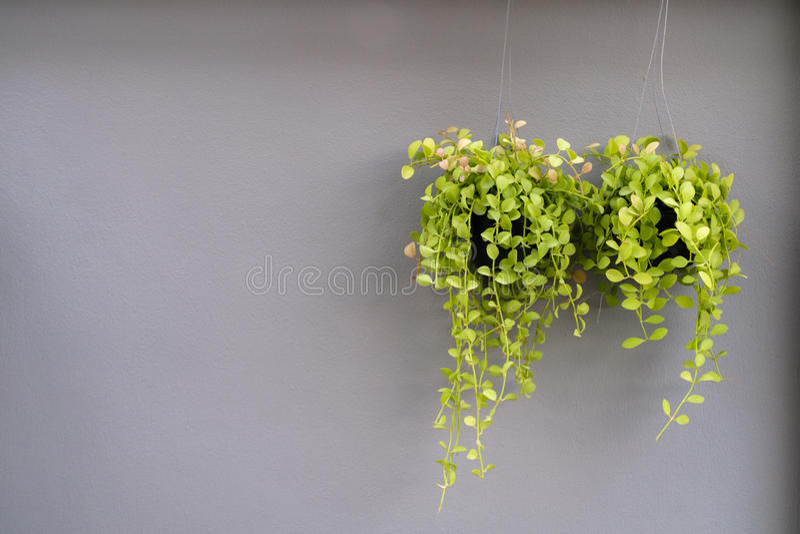 Πράσινο flowerpot στο γκρίζο υπόβαθρο τοίχων στοκ εικόνες