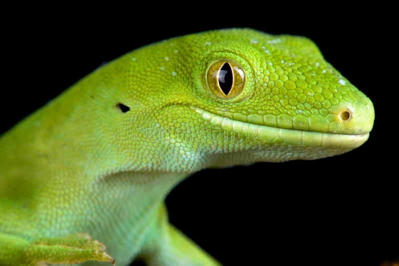 Πράσινο gecko Naultinus του Ώκλαντ elegans στοκ εικόνα