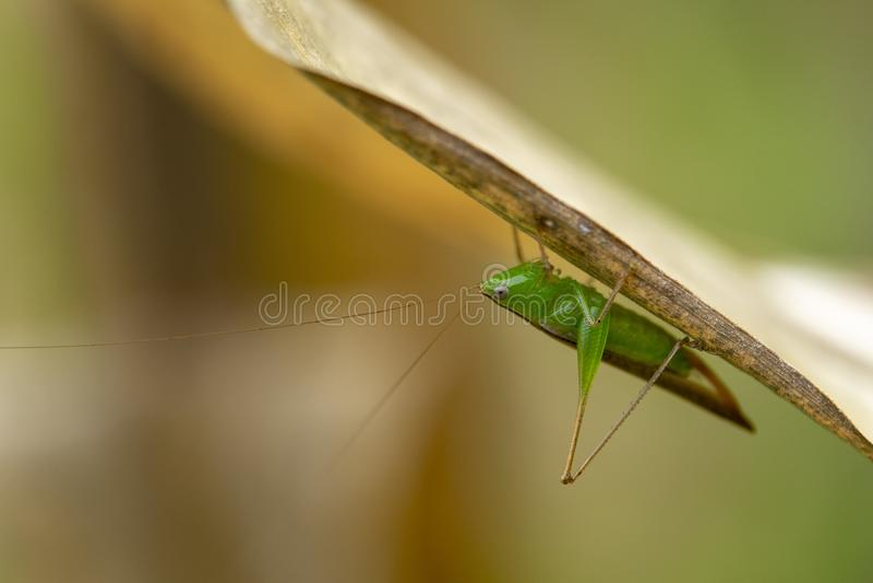 Πράσινο grasshopper είναι στα φύλλα του καλαμποκιού στοκ φωτογραφίες