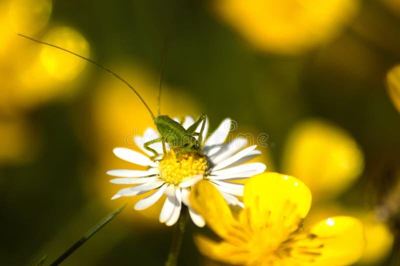 Πράσινο Grasshopper κάθεται camomile στο λουλούδι στοκ φωτογραφία