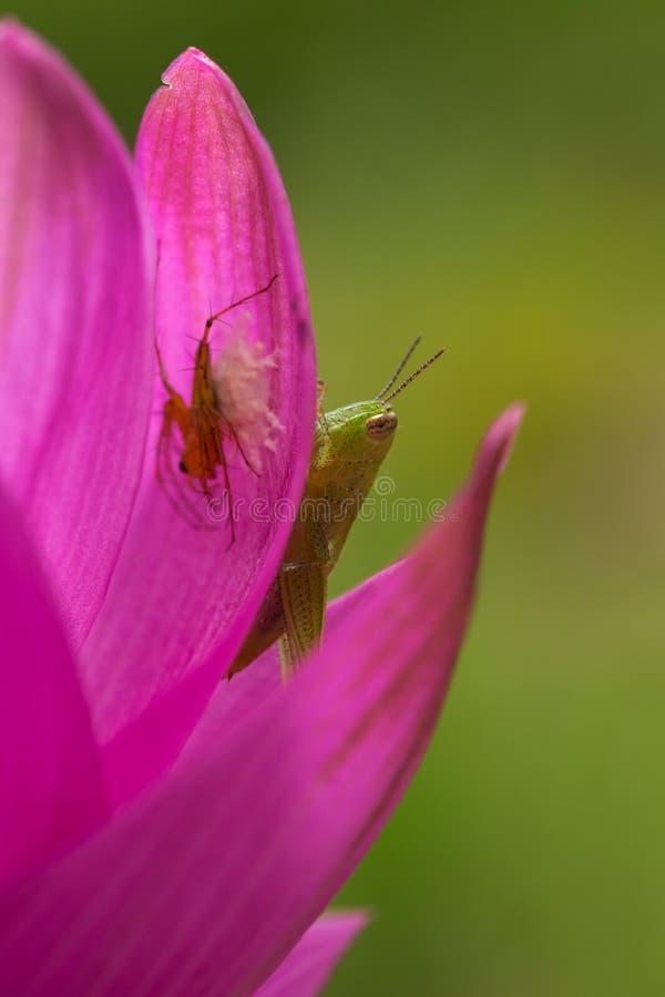 Πράσινο Grasshopper στο ρόδινο πέταλο στοκ εικόνα