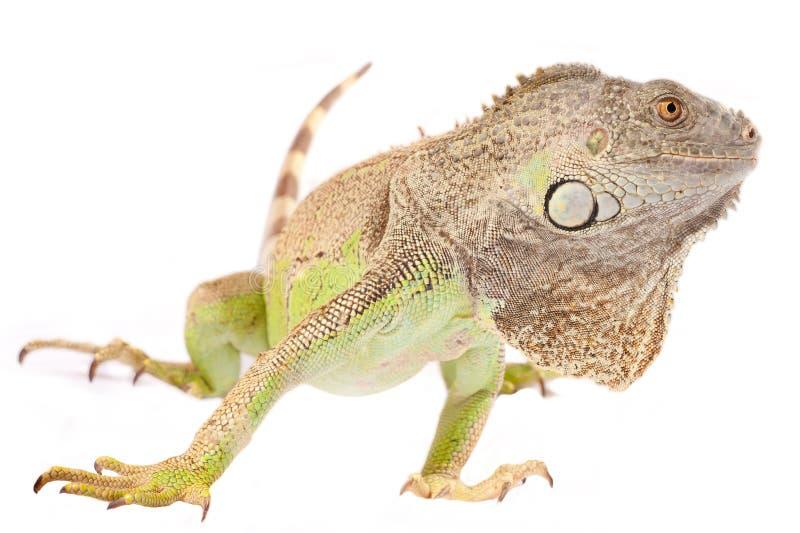 πράσινο iguana ένα στοκ εικόνα