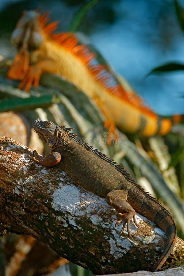 Πράσινο iguana, πορτρέτο της πορτοκαλιάς και πράσινης μεγάλης σαύρας στο σκούρο πράσινο δασικό ζώο στον τροπικό βιότοπο ποταμών φ στοκ εικόνες