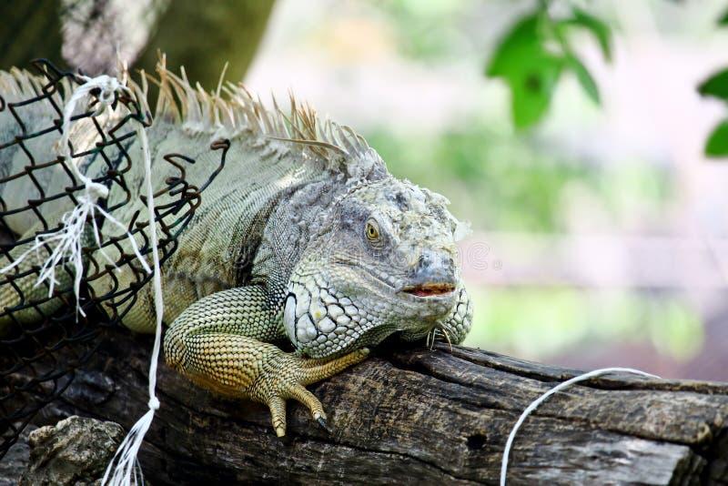 Πράσινο Iguana που ρίχνει το δέρμα στοκ φωτογραφία