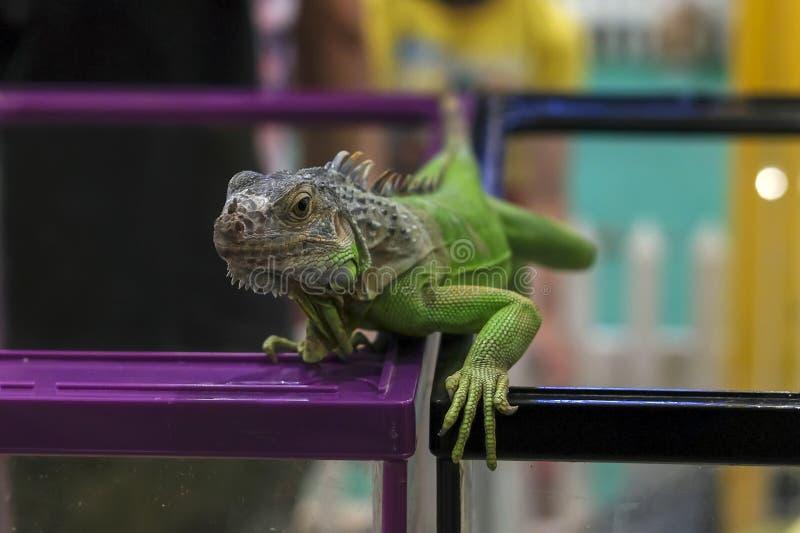 Πράσινο iguana σε ένα υπόβαθρο θαμπάδων στοκ φωτογραφία με δικαίωμα ελεύθερης χρήσης