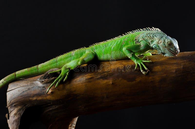 Πράσινο Iguana στον κλάδο στοκ εικόνα με δικαίωμα ελεύθερης χρήσης