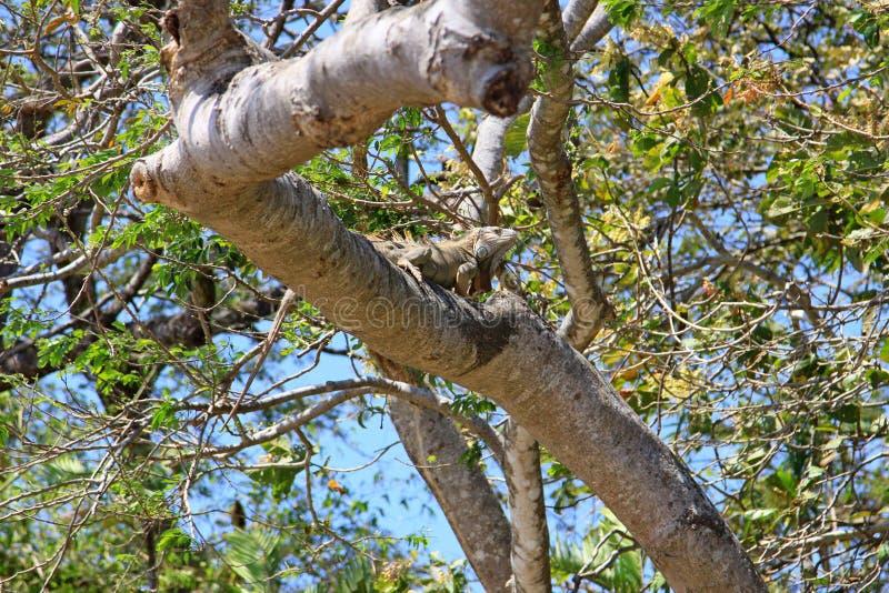 Πράσινο Iguana της Κόστα Ρίκα στοκ φωτογραφία με δικαίωμα ελεύθερης χρήσης