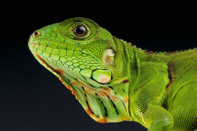 Πράσινο iguana Iguana/Iguana στοκ εικόνα
