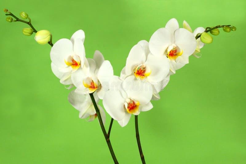 πράσινο orchid 2 ανασκόπησης λευκό στοκ φωτογραφία