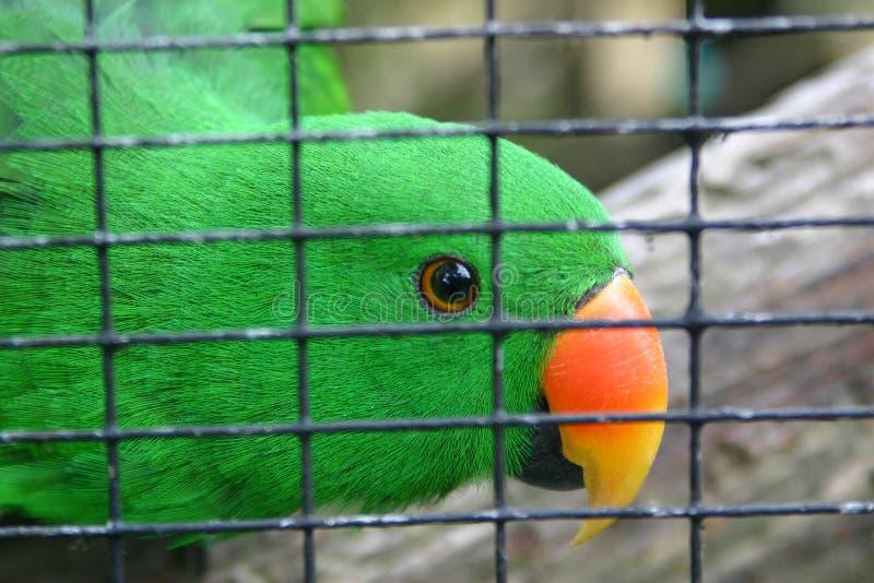 πράσινο parakeet κλουβιών στοκ φωτογραφία