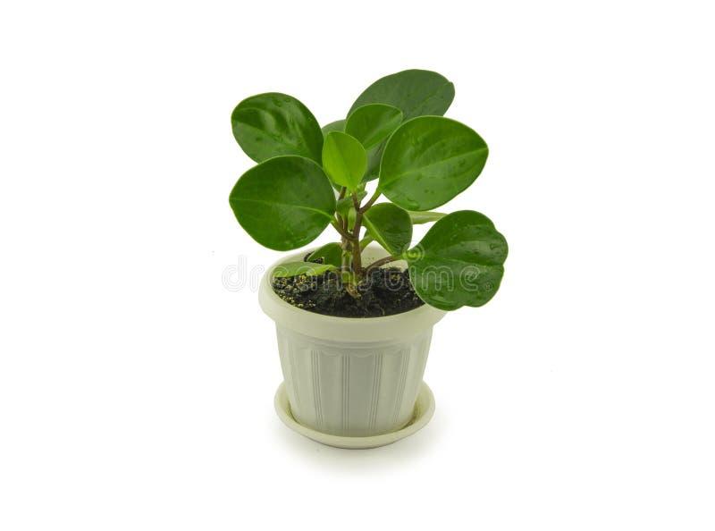 Πράσινο peperomia που απομονώνεται στο άσπρο υπόβαθρο ξέν. στοκ φωτογραφία
