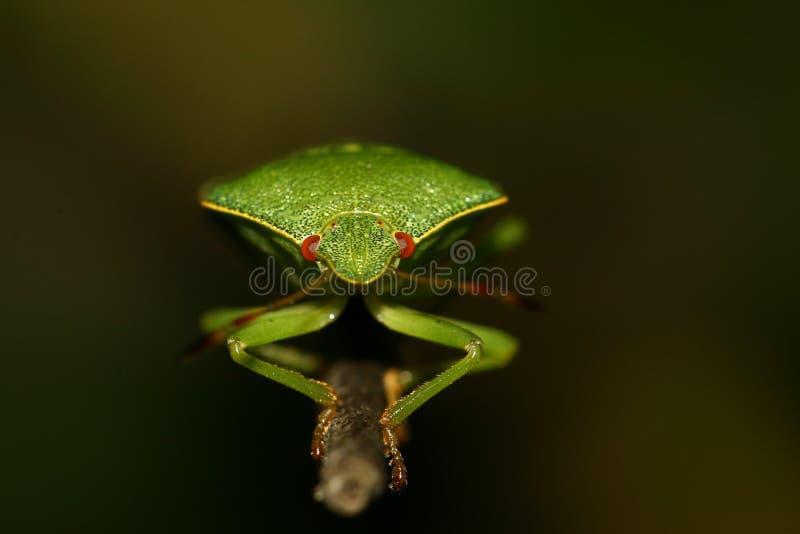 Πράσινο prasina Palomena μυρωδιών στον κλαδίσκο στοκ φωτογραφία με δικαίωμα ελεύθερης χρήσης