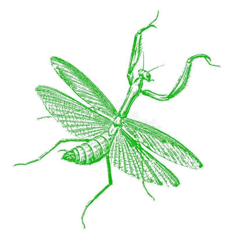 Πράσινο religiosa mantis ευρωπαϊκών ή mantis επίκλησης κατά τη τοπ άποψη απεικόνιση αποθεμάτων