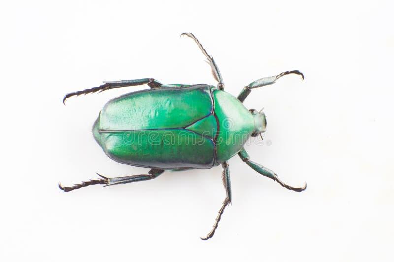 Πράσινο scarab στοκ φωτογραφία
