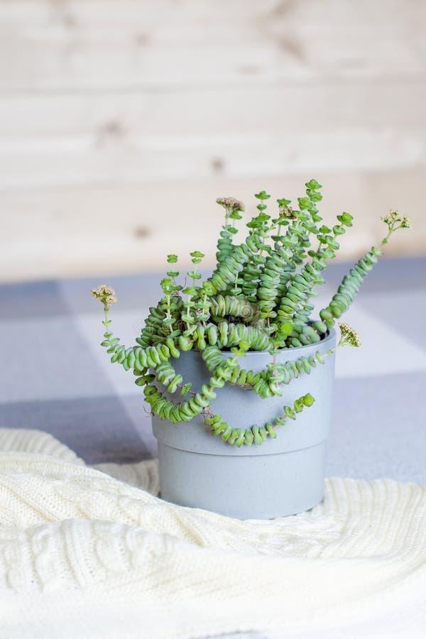 Πράσινο succulent Crassula Nealeana, εσωτερικές ανθίζοντας εγκαταστάσεις σε ένα γκρίζο δοχείο στο πλεκτό γενικό, απλό εγχώριο εσω στοκ φωτογραφία με δικαίωμα ελεύθερης χρήσης