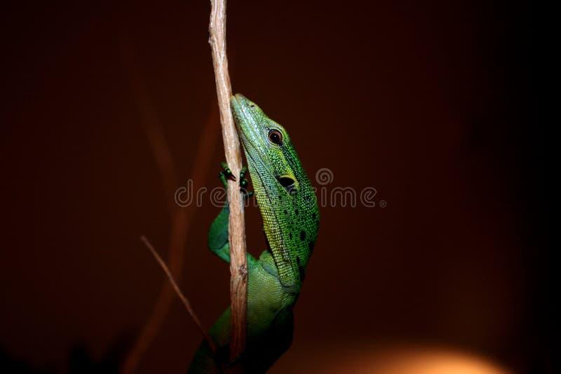 πράσινο varanus δέντρων prasinus μηνυτόρω&n στοκ φωτογραφία