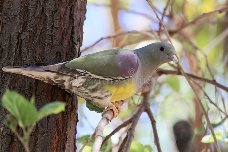 Πράσινο waalia Treron περιστεριών του Bruce ` s σε ένα δέντρο στοκ φωτογραφία με δικαίωμα ελεύθερης χρήσης